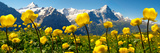Alpine Globeflower Meadows at 6000 Ft with the Eiger Behind First  Grindelwald  Bernese Alps