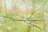 Closeup of Stalks on Organic Asparagus Plant