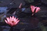 Jluly 1973: Victoria Amazonia (Regia) Flower in Botanical Garden in Rio De Janeiro  Brazil