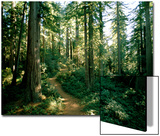 Woodland Path Winding Through a Grove of Sequoia Trees