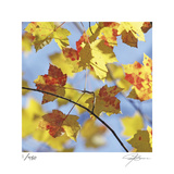 Yellow Oak Leaves
