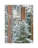 Snowy Pine Forest 3
