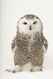 A Female Snowy Owl  Bubo Scandiacus  at Raptor Recovery Nebraska