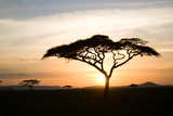 A Acacia Tree in the Serengetti