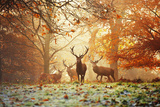 Four Red Deer  Cervus Elaphus  in the Forest in Autumn