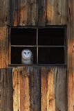 A Barn Owl  Tyto Alba  in the Window of a Barn