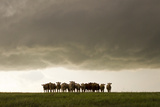 A Herd of Cattle Standing Side-By-Side  in a Perfect Row  in a Field under a Thunderstorm
