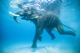 Rajan  the Infamous Asian Elephant  Swims in the Indian Ocean