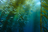 Marine Life in a Kelp Forest on Cortes Bank