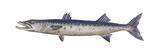 Great Barracuda (Sphyraena Barracuda)  Fishes