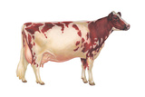 Ayrshire Cow  Dairy Cattle  Mammals
