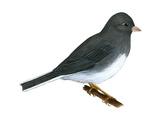 Slate-Colored Junco (Junco Hyemalis)  Birds