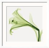 Lilies B (Positive)