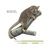 Gray Mouse Lemur (Microcebus Murinus)  Mammals