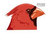 Northern Cardinal (Cardinalis Cardinalis)  Birds