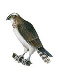 Osprey (Pandion Haliaetus)  Fish Hawk  Birds