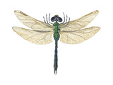 Green Darner Dragonfly (Anax Junius)  Insects