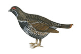Spruce Grouse (Falcipennis Canadensis)  Birds