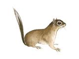 African Pygmy Squirrel (Myosciurus Pumilio)  Mammals