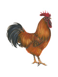 New Hampshire (Gallus Gallus Domesticus)  Rooster  Poultry  Birds