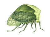 Treehopper (Ceresa Bubalus)  Insects