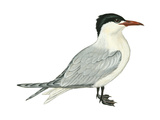 Caspian Tern (Hydroprogne Caspia)  Birds