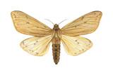 Isabella Tiger Moth (Isia Isabella)  Insects