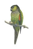 Rock Parakeet (Pyrrhura Rupicola)  Birds