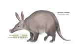 Aardvark or Antbear (Orycteropus Afer)  Mammals