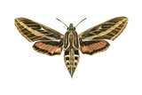 Hawk Moth (Celerio Lineata)  Sphinx Moth  Insects