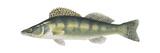 Pike-Perch (Sander Lucioperca)  Fishes