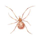 Comb-Footed Weaver (Theridion Tepidariorum)  Spider  Arachnids