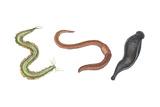 Clam Worm  Earthworm  Leech  Annelids  Invertebrates