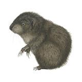 Mountain Beaver (Aplodontia Rufa)  Mammals