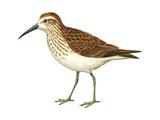 Western Sandpiper (Calidris Mauri)  Birds