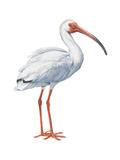 White Ibis (Eudocimus Albus)  Birds