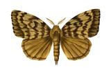 Gypsy Moth (Porthetria Dispar)  Insects