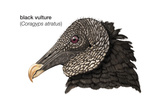 Head of Black Vulture (Coragyps Atratus)  Birds