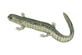 Small-Mouthed Salamander (Ambystoma Texanum)  Amphibians