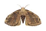 Tussock Moth (Hemerocampa Leucostigma)  Insects