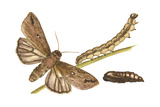 Armyworm Moth  Caterpillar  and Pupae (Mythimna Unipuncta)  Insects