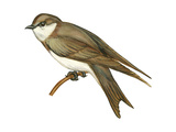 Bank Swallow (Riparia Riparia)  Martin  Birds