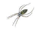 Black-And-Yellow Argiope (Argiope Aurantia)  Spider  Arachnids