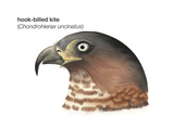 Head of Hook-Billed Kite (Chondrohierax Uncinatus)  Birds