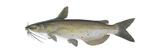 Channel Catfish (Ictalurus Punctatus)  Fishes