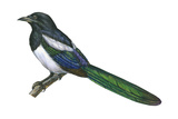 Black-Billed Magpie (Pica Pica)  Birds