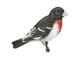 Rose-Breasted Grosbeak (Pheucticus Ludovicianus)  Birds