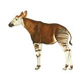 Okapi (Okapi Johnstoni)  Mammals