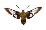 Hummingbird Moth (Hemaris Thysbe)  Insects