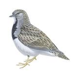 Least Seedsnipe (Thinocorus Rumicivorus)  Birds